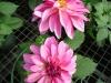 Dahlias Pink Blossum