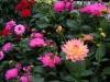 Dahlias Assorted Blossum