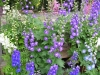 Delphinium in bloom