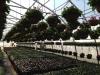 Geranium Coco Hangers