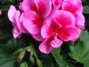 Geranium Pink Splash