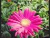 Gerbera Daisy Hot Pink