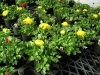Ranunculus six inch