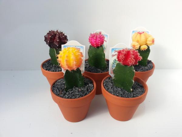 "3"" Clay Pot Neon Graft Cactus"