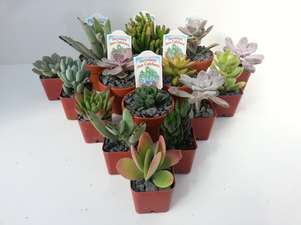 """2"""" Plastic & 3"""" Clay Asst. Succulents"""